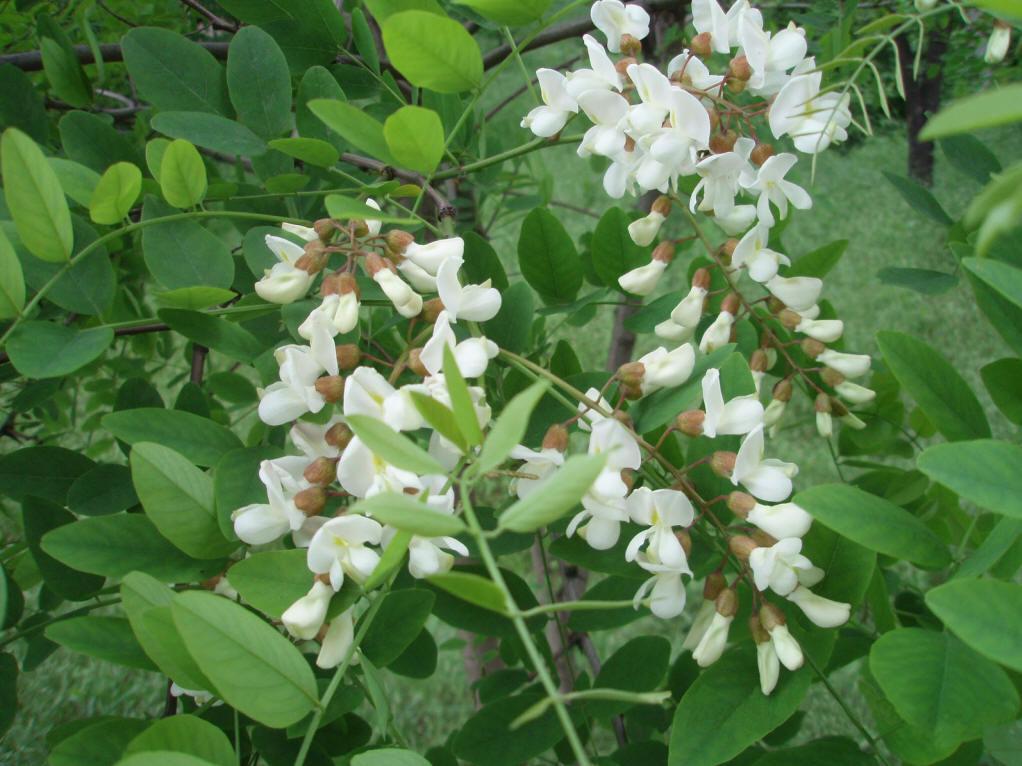 刺槐(豆科植物)