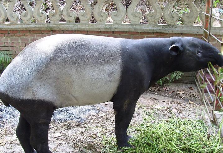 貘现在已成为濒临绝种的动物.