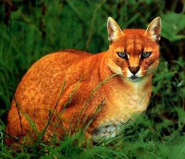 亚洲金猫_金猫(学名felis(catopuma) temmincki;英文golden cat),也叫亚洲金猫