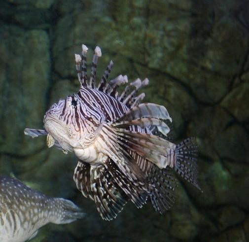 狮子鱼(动物)