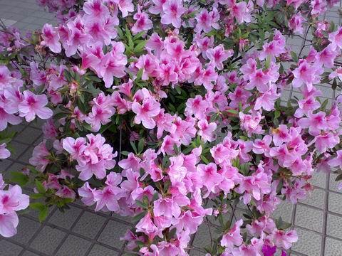 金达莱花(植物)