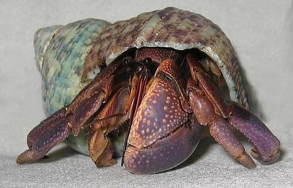 寄居蟹(节肢动物门动物)
