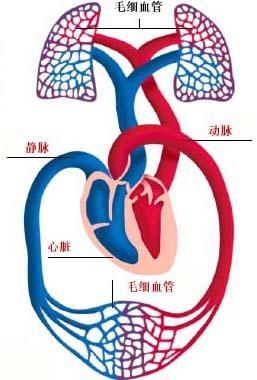 肺血管结构重建动物实验及临床资料证实
