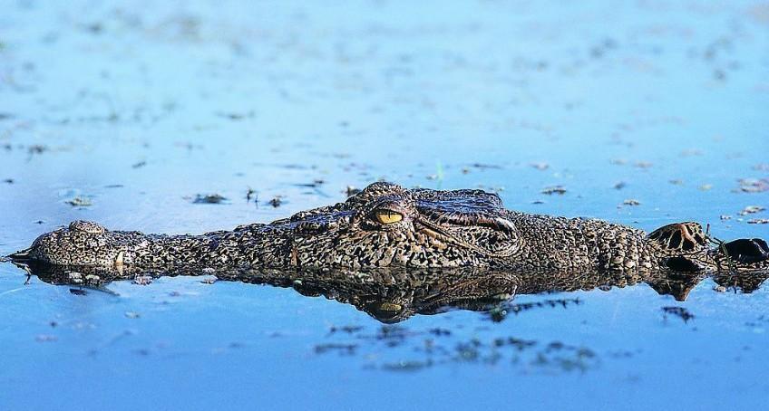 现存的爬行动物包含四个目: 鳄目(crocodilia):包含鳄鱼,长吻鳄