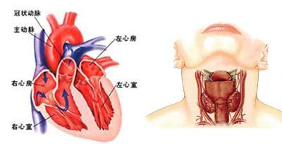 心肌闰盘超微结构