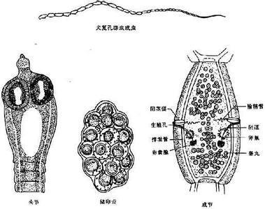 绦虫卵手绘图以及名称