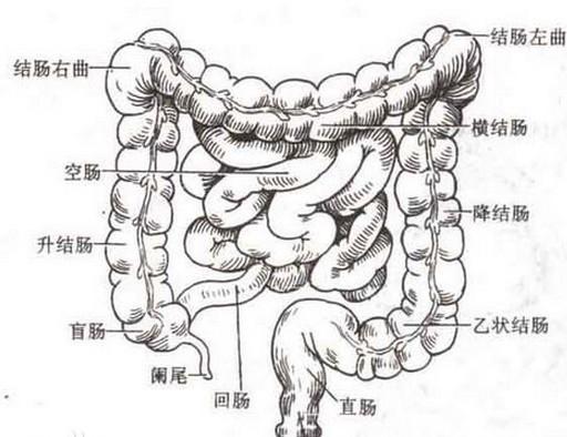 人体肠道结构图_肠道