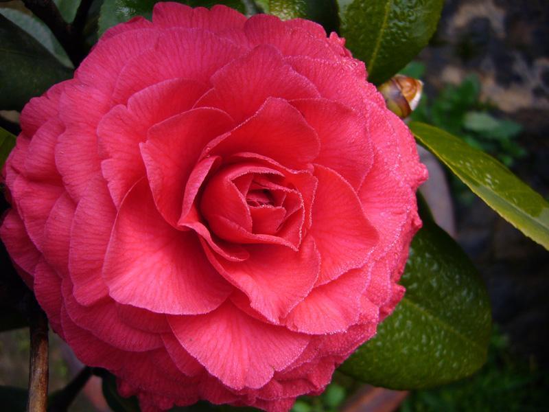 深宫风云之玫瑰_贝拉大玫瑰