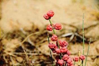 是麻黄科麻黄属植物草麻黄