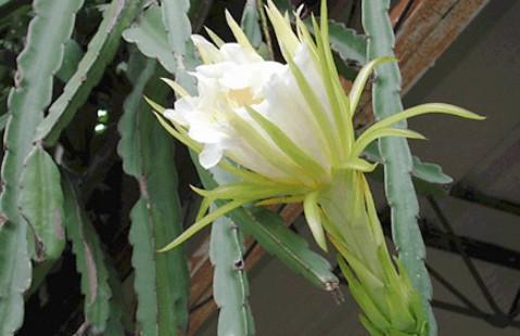 为仙人掌科量天尺属植物量