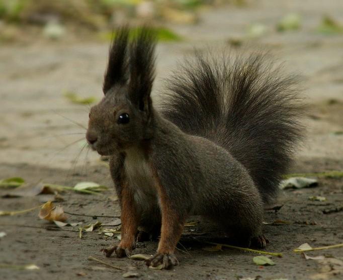 魔王松鼠体形通常中等大小