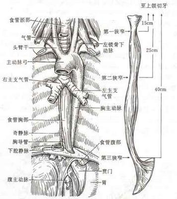 食道气管结构图-食道和气管高清位置图/气管和食道图