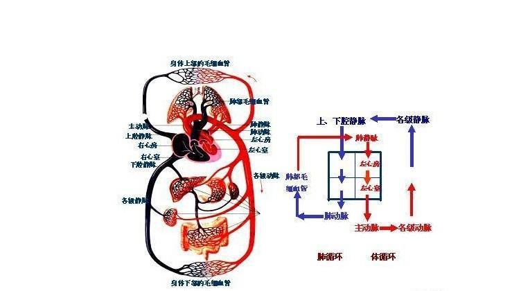 血液循环系统