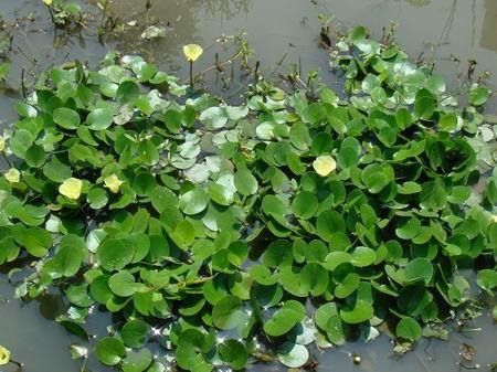 水生植物根系发达,茎杆强韧,具有发达的通气组织,叶子柔软而透明,有的