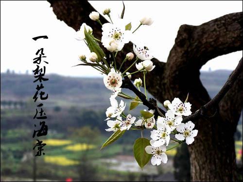 一朵梨花压海棠
