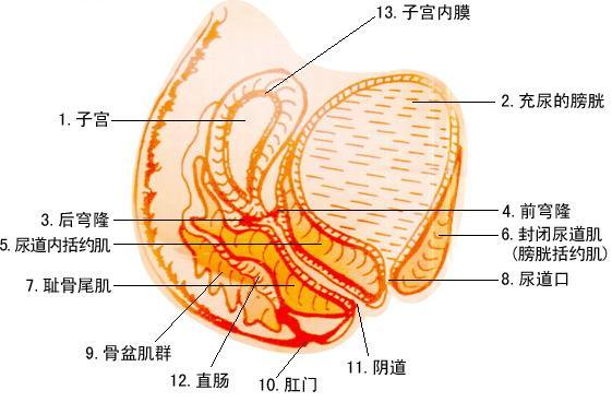马蛔虫子宫切片手绘图