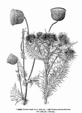 峨眉蓟草本植物,生长高度可达120厘米.