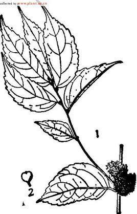 界:植物界 门:被子植物门