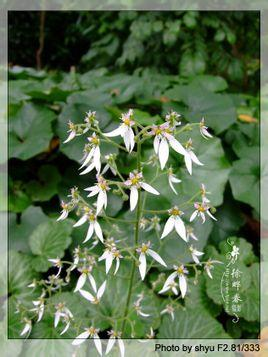 近等叶虎耳草(学名:saxifragasubaequifoliata)为虎
