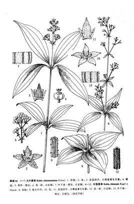 藤本植物手绘线稿