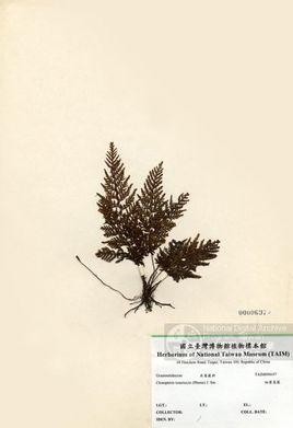 细叶蒿蕨是禾叶蕨科蒿蕨属植物