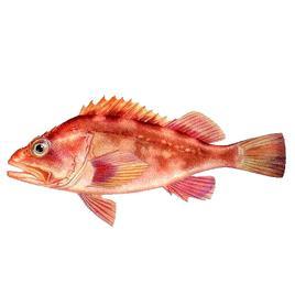 褐菖鲉,又称石狗公,是辐鳍鱼纲鲉形目鲉科的一个种,有毒,经济型食用鱼