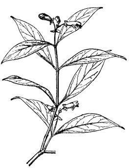 长尖芒毛苣苔,一种植物