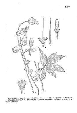 鹿蹄草叶树萝卜