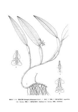 干石斛手绘pop图片