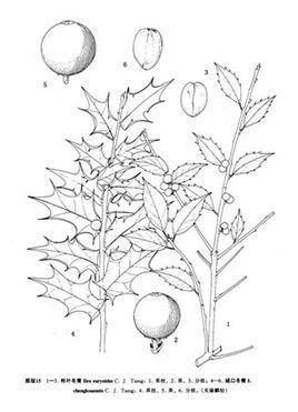 常绿乔木手绘线稿