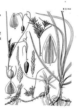 粗根茎莎草为莎草科的草本植物.