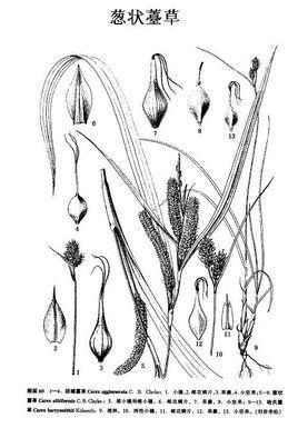 葱状薹草图片