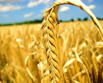 麦穗(读音mài suì),麦茎顶端的花或果实部分.