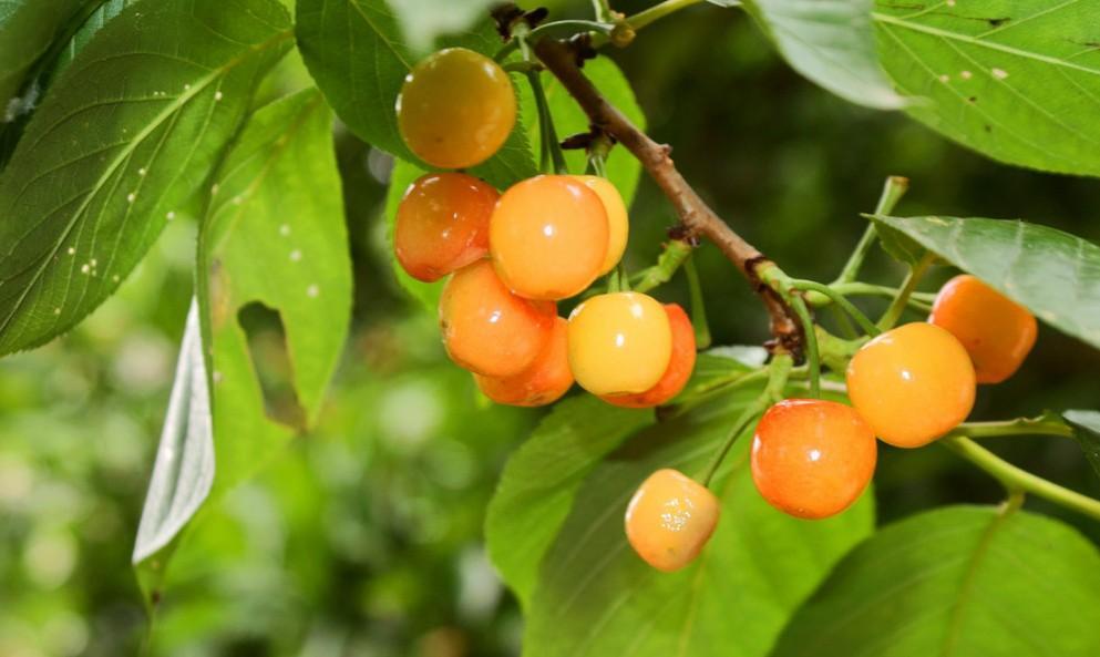 樱桃树(蔷薇科植物) - 搜狗百科