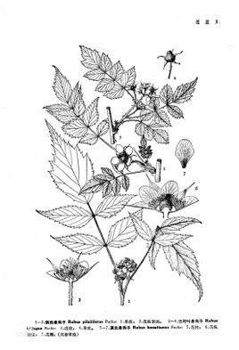 陕西悬钩子,蔷薇科悬钩子属植物