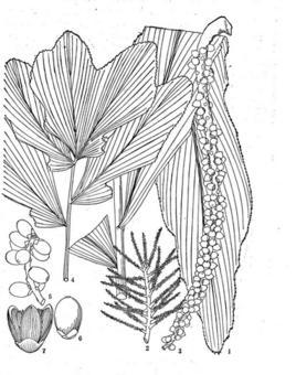 密花瓦理棕为棕榈科瓦理棕属植物.