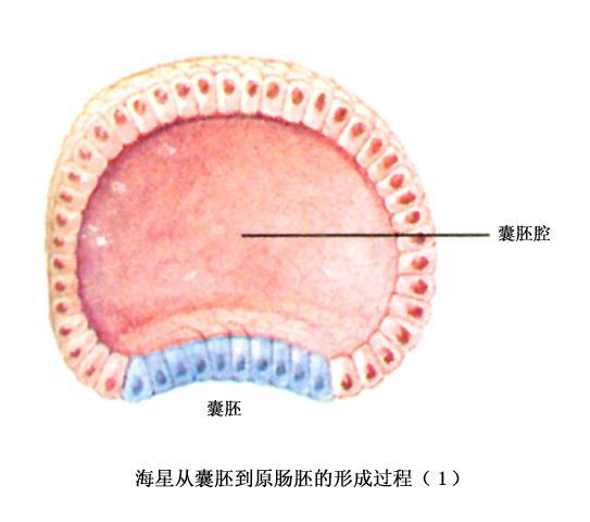 称为原肠胚(或神经胚)