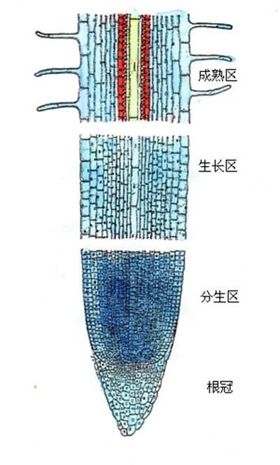 根尖纵切结构绘图