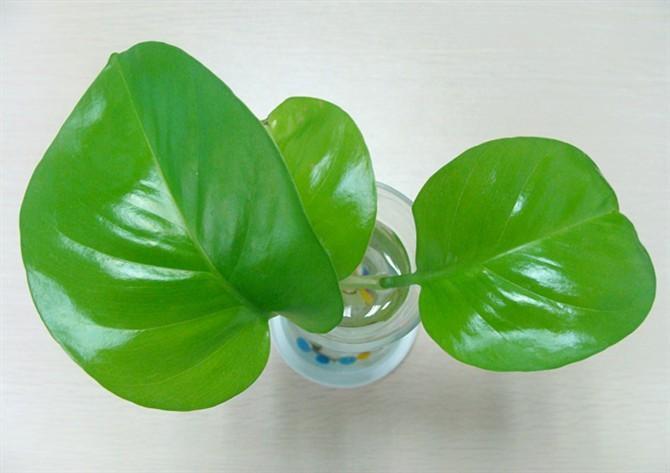 马来西亚植物手绘