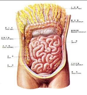 这样结核分枝杆菌与肠道黏膜接触机会多,增加了肠黏膜的感染机会.