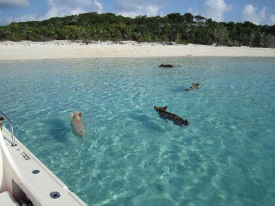 如今,这群会游泳的猪走红网络,还有人要为它们拍摄纪录片 [1].图片