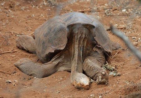 加拉帕戈斯象龟_世界上最大的陆龟 加拉帕格斯象龟