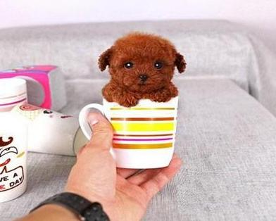 最萌博美茶杯犬。_茶杯泰迪犬标准【图片 价格 包邮 视频】_淘宝助理