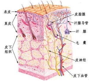 淋巴身体部位图解