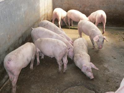动物 猪 400_300