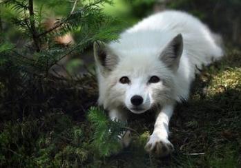 狐狸- 搜狗百科