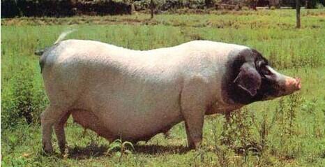 珠穿手工动物猪