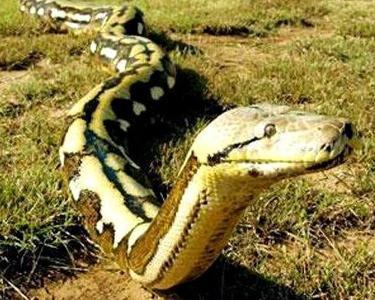 100多米长的蟒蛇_蟒蛇(动物) - 搜狗百科