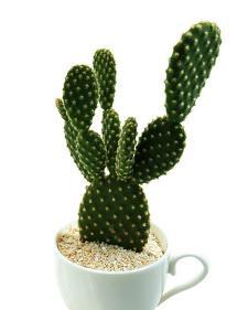 仙人掌科植物图片-仙人掌科图片