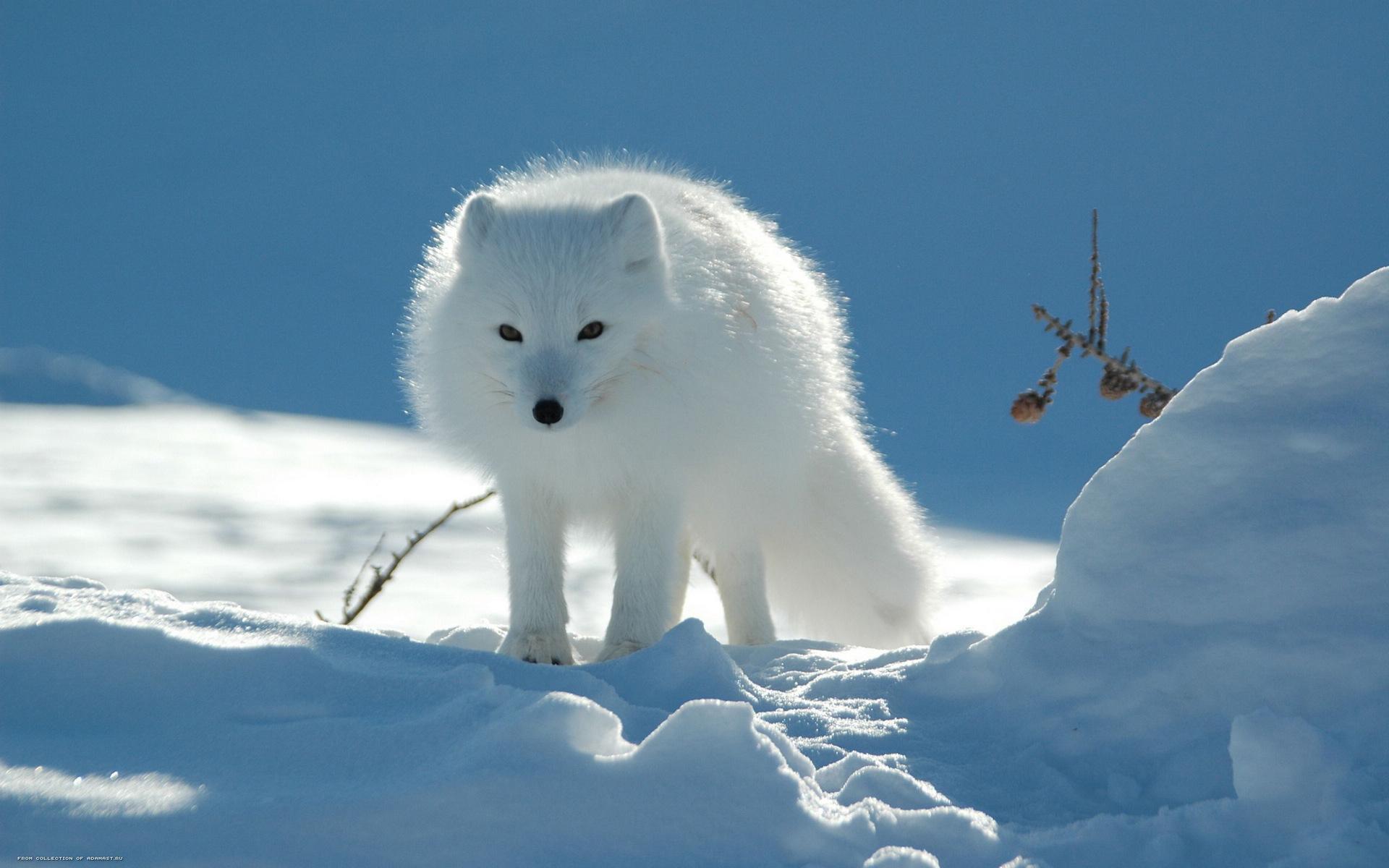 北极白狐图片